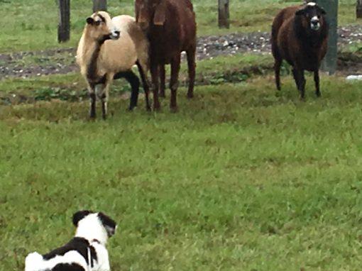 Herding 2 Sheep