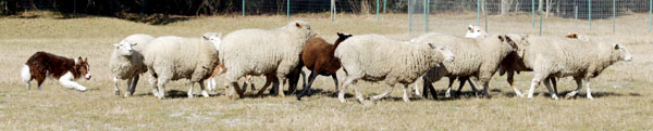 Jigg working sheep