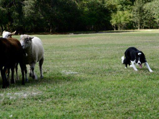 Herding 1 Sheep