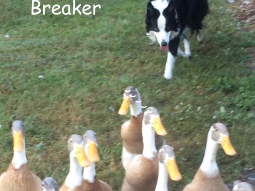 breaker sheep